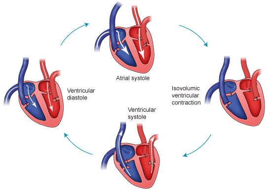 phases of a cardiac cycle Phases of cardiac cycle the history of cardiac catheterization illustrates what reckless idealism of youth can achieve and the long time (here 27 yrs.